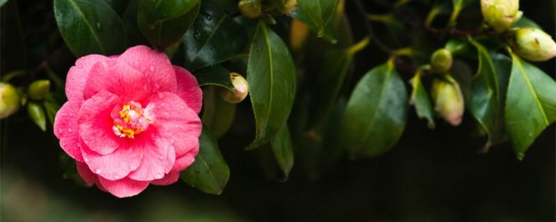 山茶花什么时候开花,花语是什么