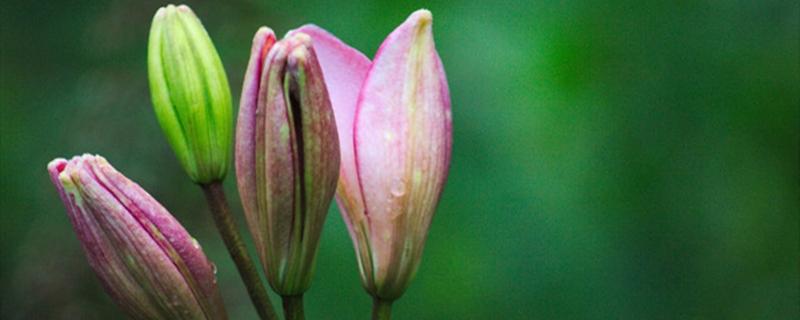 百合开花之后怎么处理,百合一年开花几次