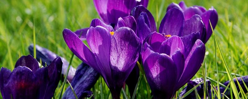 藏红花的种子和栽培方法,藏红花的种植时间