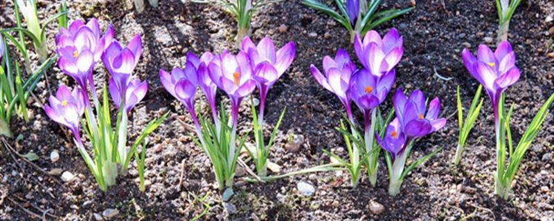藏红花种植时间和技术,需要注意什么