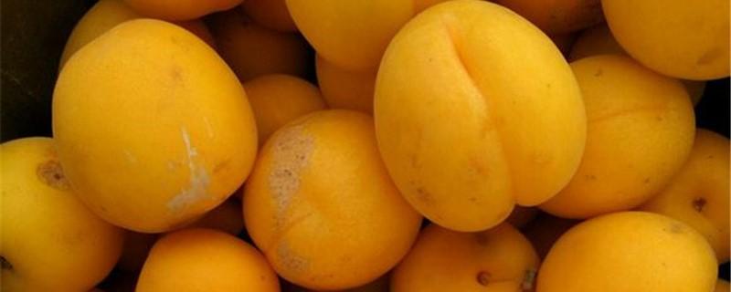 杏梅的养殖方法