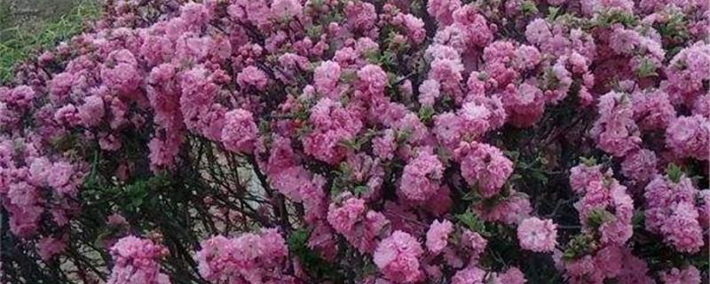 重瓣榆叶梅的养殖方法