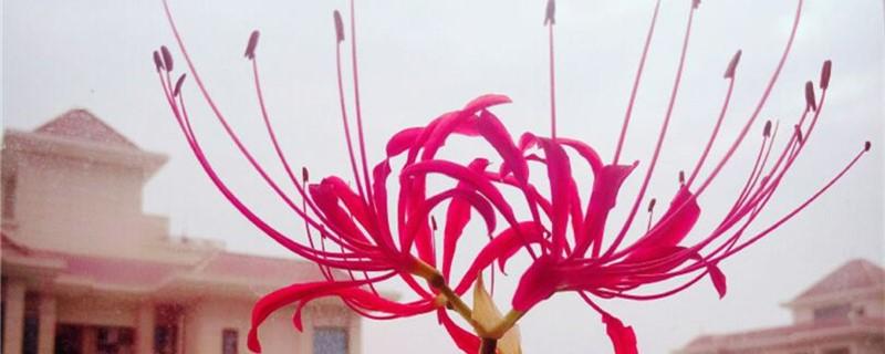彼岸花可以扦插吗,彼岸花是怎么繁殖的