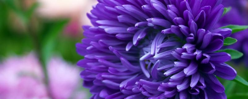 菊花繁殖方法,繁殖成活率高吗