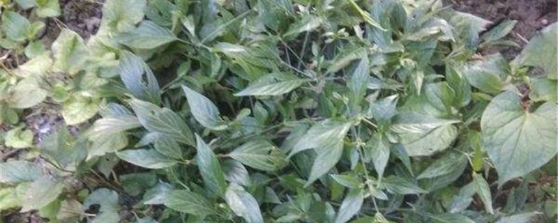 九头狮子草的养殖方法