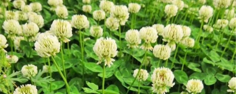 白花车轴草的养殖方法