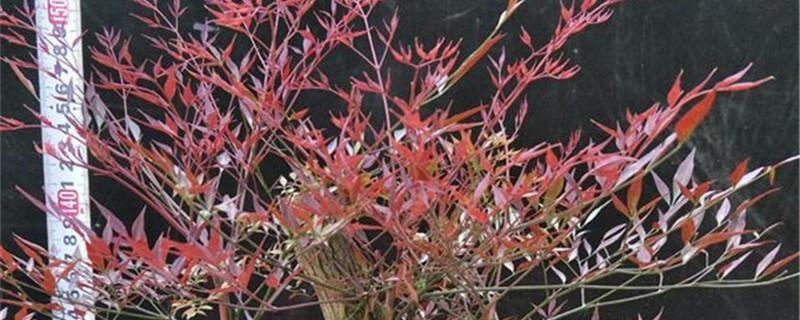 红叶南天竹的养殖方法