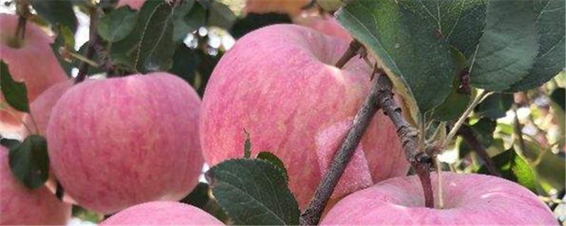 苹果的种植与管理技术要点
