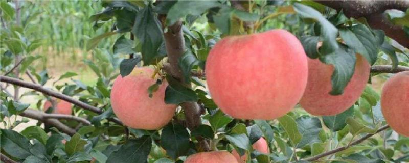苹果都有什么品种,十大优质苹果品种
