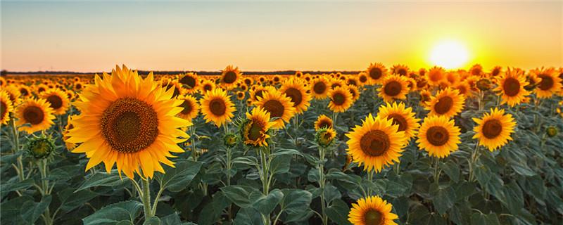 向日葵早上中午晚上有什么变化,一天中几点开花
