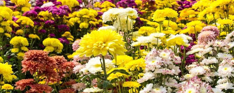 黄菊花的花语,各种颜色菊花的花语