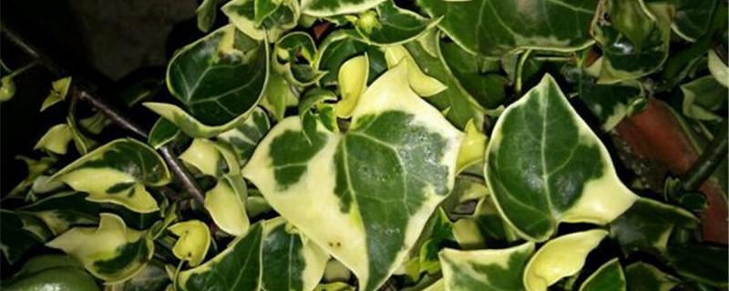 金玉菊的养殖方法和注意事项
