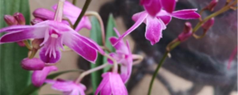 蝴蝶石斛兰的养殖方法和注意事项