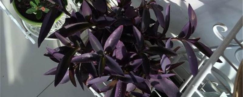 紫鸭趾草的养殖方法和注意事项