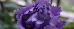 洋桔梗花语,洋桔梗的种植方法