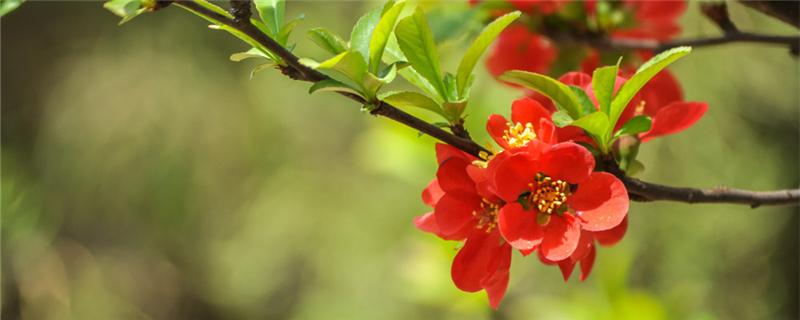 海棠开花的时候要多浇水吗,几天没浇水干了怎么办
