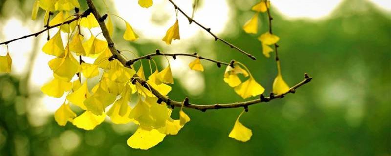银杏扦插时间和方法,银杏树枝插的活吗
