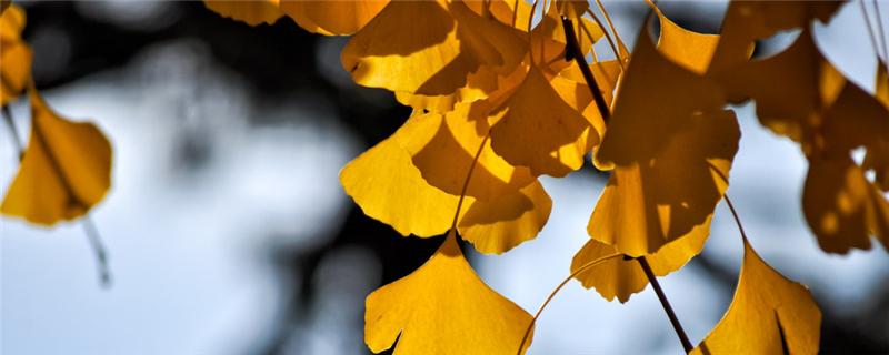 银杏分株繁殖技术,银杏树是怎么繁殖的