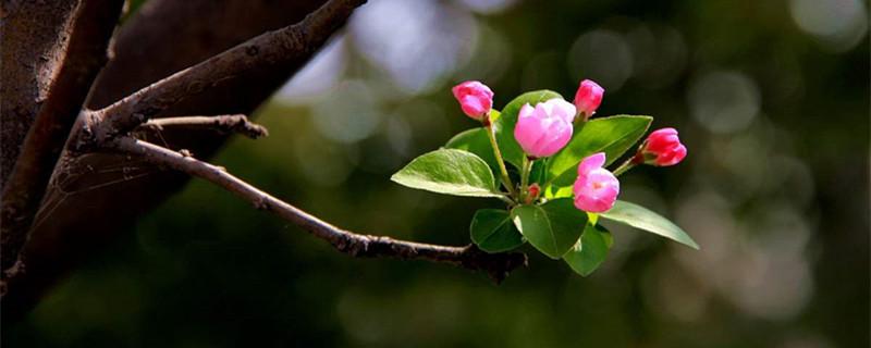 海棠花秋季的养殖方法,怎么扦插