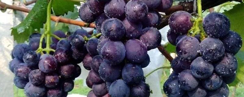 盆栽葡萄几年结果,不结果怎么办