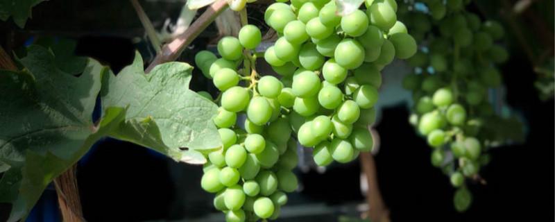 盆栽葡萄冬天怎么处理,怎么越冬