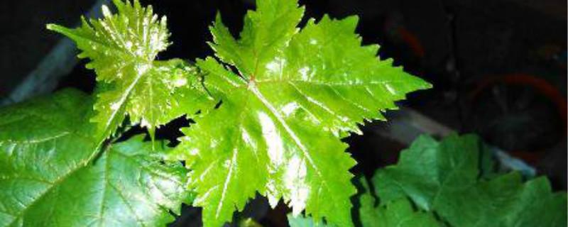 盆栽葡萄如何过冬,冬天怎么办