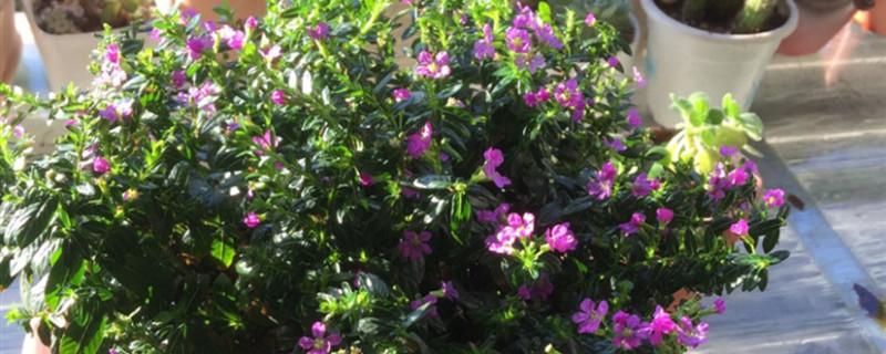 盆栽满天星的花期多久,用大盆还是小盆好