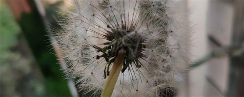 蒲公英种子的传播方式