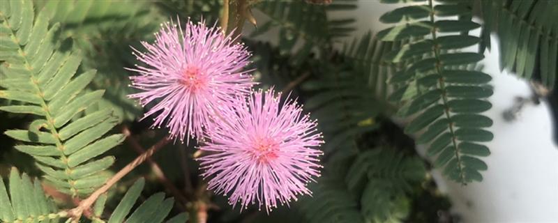 含羞草会开花吗,什么时候开花