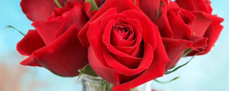 玫瑰花如何快速开花,如何让玫瑰花多开花
