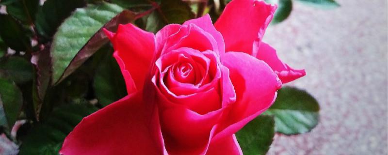 玫瑰花盆栽可以放在室内吗,怎么养可以放室内