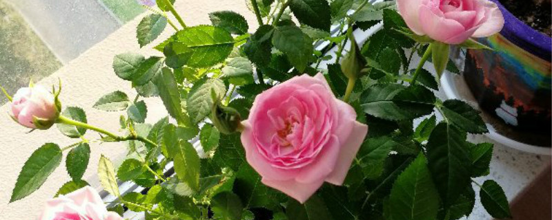 玫瑰花换盆后怎么处理,可以晒太阳吗