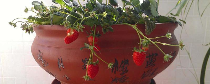 大棚草莓一年结几次果,什么时候结果