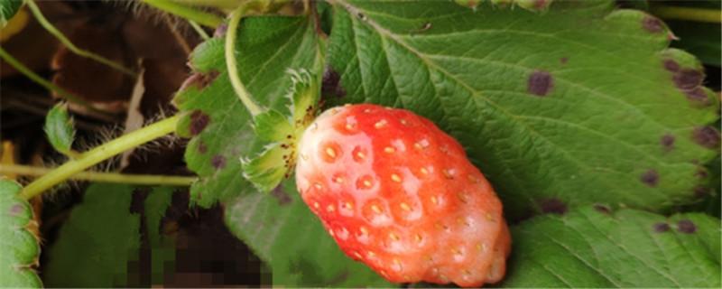 草莓无土栽培方法