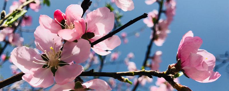 桃花修剪什么时间最好,桃花可以重剪吗