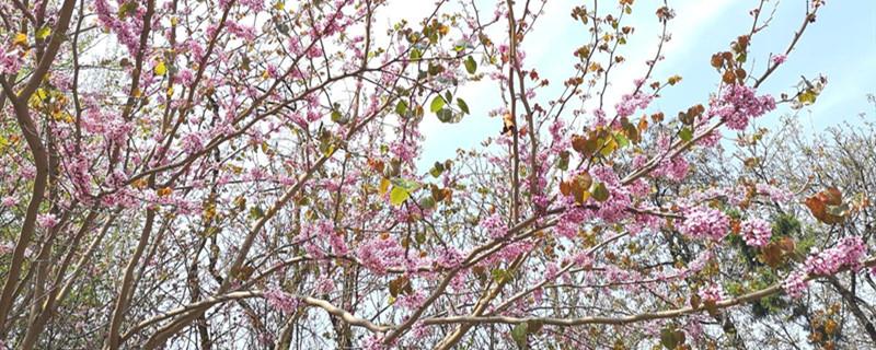 桃花病虫害怎么处理,桃花虫害症状