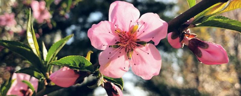 桃花长什么样子,桃花有什么特点