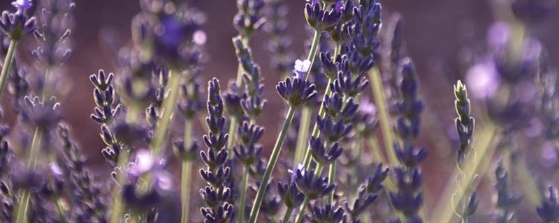 薰衣草是鼠尾草吗,薰衣草和鼠尾草的区别