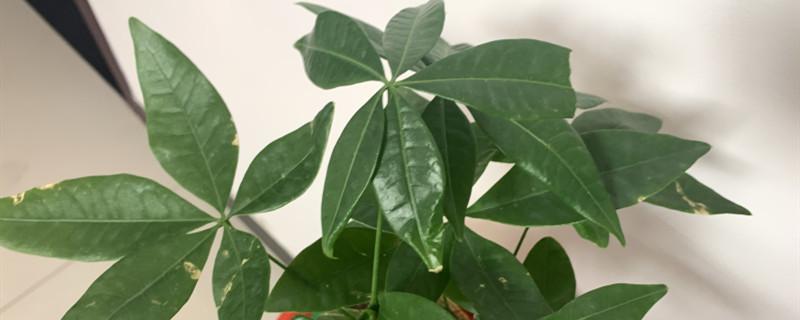 发财树能水培养吗,有黄叶了怎么办