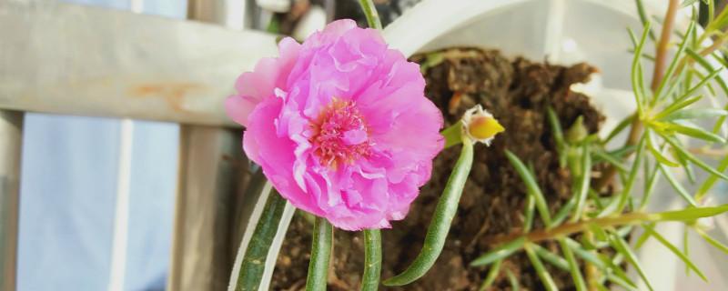 盆栽太阳花冬季养护,太阳花冬天会死吗