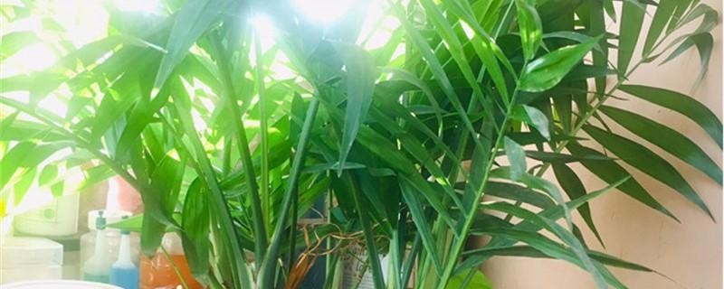 散尾葵黄叶的原因和处理办法