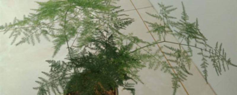 文竹是草本还是木本,是什么样子