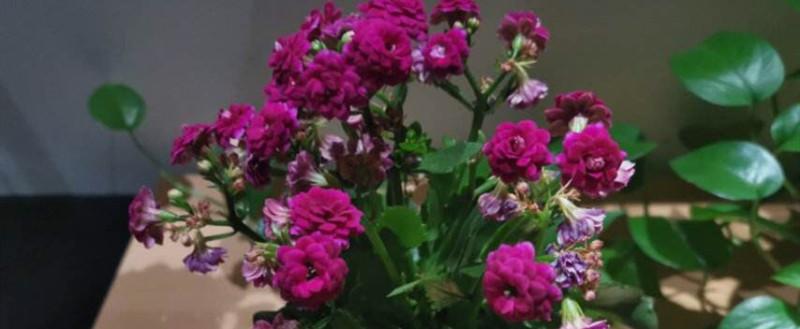 长寿花是什么科的植物,长寿花的花期
