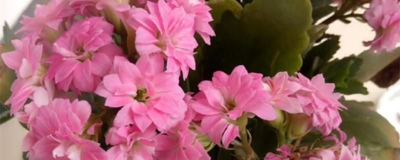长寿花怎么养才能开花,不开花是什么原因呢