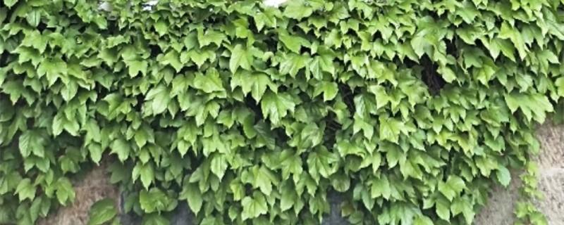 爬山虎黄叶的原因和处理办法
