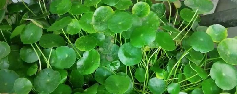 铜钱草扦插几天可以长出叶子,铜钱草的叶子能插活吗