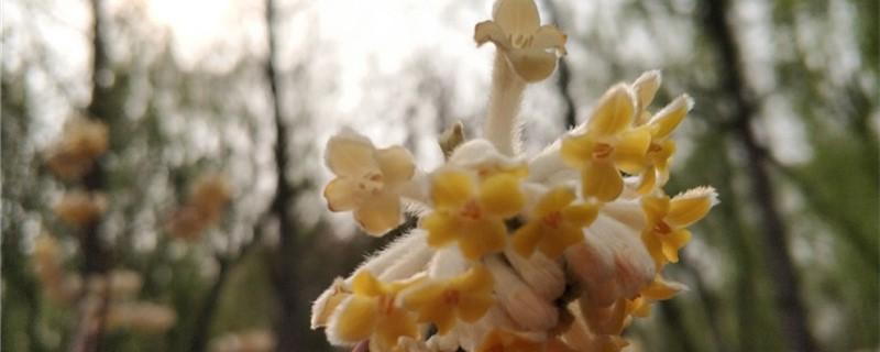 结香黄叶的原因和处理办法