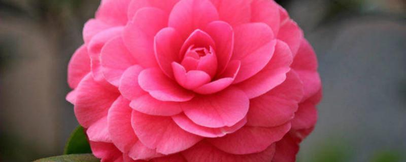 山茶花开花时怎么浇水,花期可以喷水吗