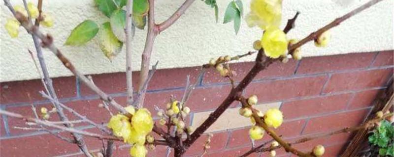 腊梅黄叶的原因和处理办法
