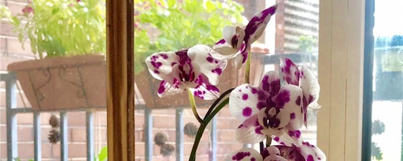 蝴蝶兰是兰花吗,蝴蝶兰是多年生植物吗